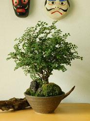 アキニレケヤキ      ¥5,500(税込)        鉢径約14cm×高さ約26cm
