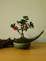 長寿梅          ¥2,200(税込)        鉢径約8cm×高さ約16cm