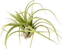 Concolor x Streptophylla