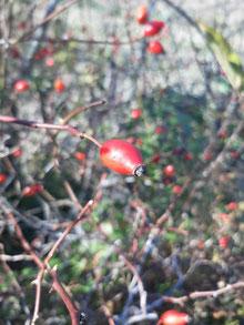 Fruits de l'églantier - Le cynorrhodon