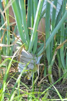 九条ネギ 自然栽培 農業体験 体験農場 野菜作り教室