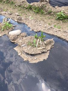 土が盛り上がている