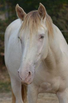 mare beautifull color Rocky Mountain Horse classic silver cream champagne