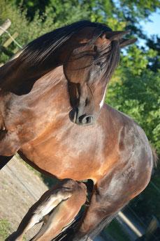 Jument de Selle bai pangaré pleine d'un Rocky Mountain Horse homozygote silver