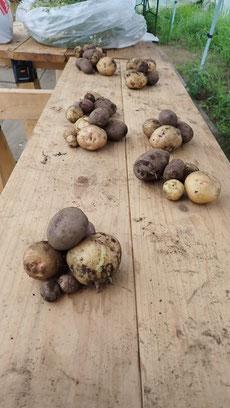 自然農法の野菜作り教室・ジャガイモ収穫@さとやま農学校
