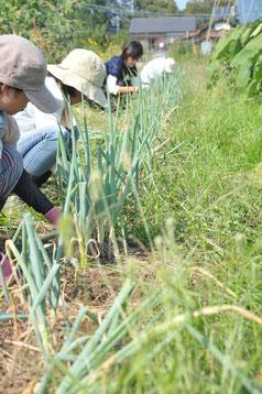 九条ネギ 自然栽培 固定種 農業体験 体験農場 野菜作り教室  さとやま農学校