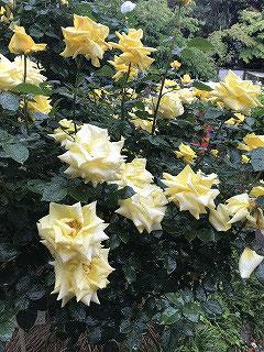 旧前田伯爵家の別邸だった当時から庭園にあったバラ200種類245株が色とりどりに目を楽しませてくれました!(^^)!