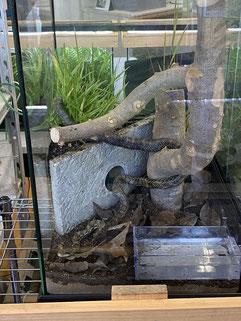 水槽に入るアオダイショウ