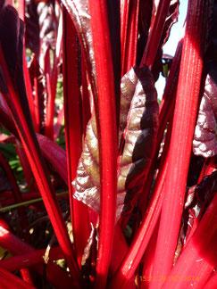 Blettes rouges du jardin Alôsnys