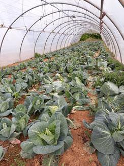 Chou pointu cultivé sous abri à la ferme des saveurs de Gâtine