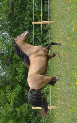 Rocky Mountain Horse étalon stallion colt isabelle dun ou dunskin