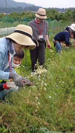 自然栽培のハーブ・カモミールの収穫体験@さとやま農学校・すどう農園