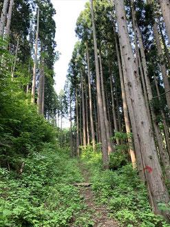 ▲杉の林道