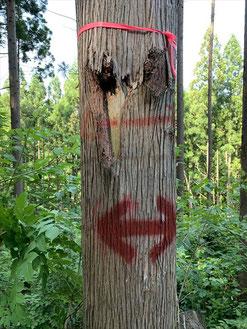 ▲杉の木には目印があります。
