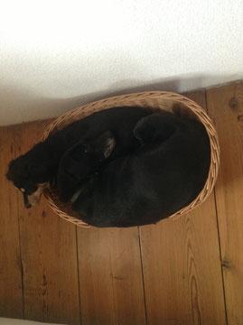 total lustig, wir haben insgesamt 8 Shlafplätze für die Hunde im Haus verteilt, die alle doppelt so groß sind als dieser mini Korb, aber nein, es muss das kleinste Körbchen zu zweit sein....:-) :-) man erkennt Mocca kaum.....