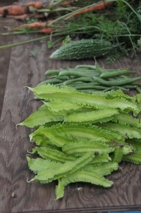 シカクマメ 自然栽培 野菜作り教室 農業体験 体験農場 オーガニック体験