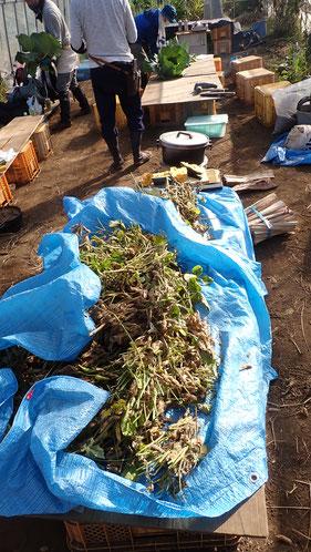 自然栽培の津久井在来大豆の収穫@さとやま農学校