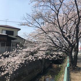 花咲かせる当社近くの桜並木(昨年撮影)