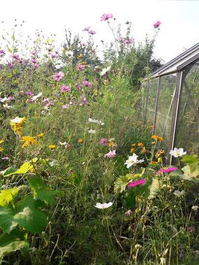 Eine Wildblumen Wiese in voller Blüte. So kann es aussehen, wenn Blumenkugeln von STUDIOLAUBE gepflanzt wurden. Garten, Bauerngarten, Sommerblumen, Cosmea, Ringelblumen