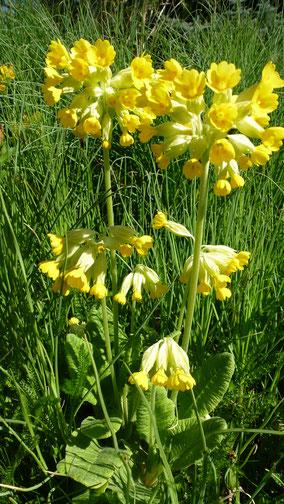 Die Schlüsselblume- Blume des Jahres 2016, fühlt sich wohl und vermehrt sich wunderbar in Biotopia!