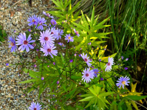 Aster cordifolius 'Little Carlow' und Amsonia