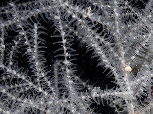 Antipathella subpinnata, true black coral