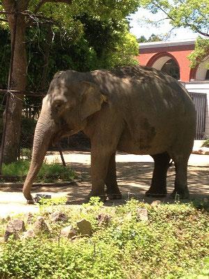 ズーラシアには70種類約400頭の動物がいるそうです!!まずお目にかかったのは悠然と歩いていたインド象さん。可愛い目をしてました(^^♪