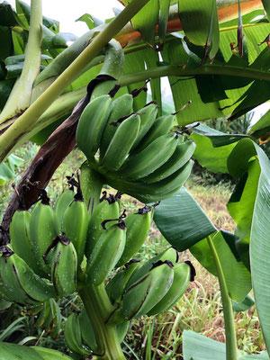 そー言えば今年初の我が家のバナナ♪ 台風10号でやられたらいけないと少し早かった気がするけど収穫して只今熟成中。