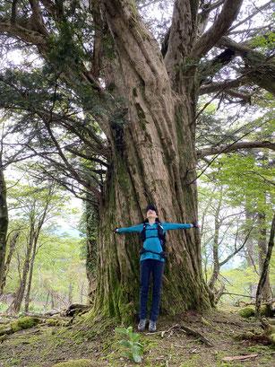 イチイの巨木