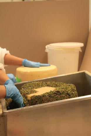 Käse wird mit Kräutern ummalntelt