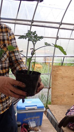 トマトを挿し芽で増やす@自給のための野菜づくり教室・さとやま農学校