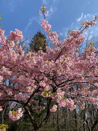 コロナばかりで疲れてしまいますね。桜でほっこりしましょう。