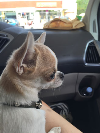 Chihuahua elevage de référence en matière de petit chien