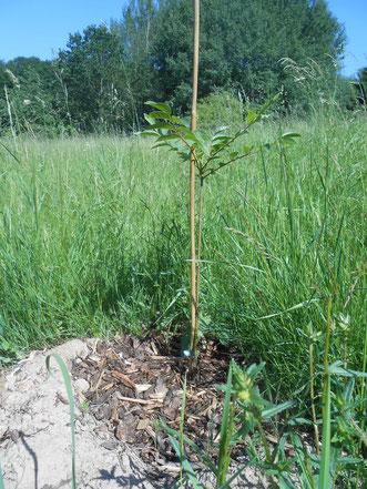 Bienenbaum frisch gepflanzt.