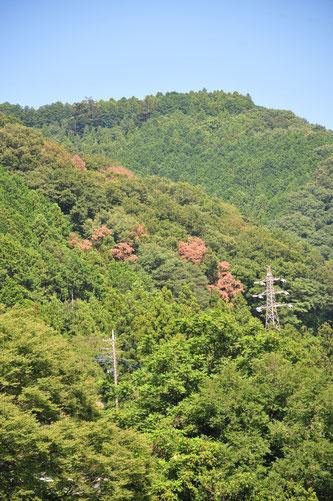 ナラ枯れの山・2021年8月の神奈川県相模原市