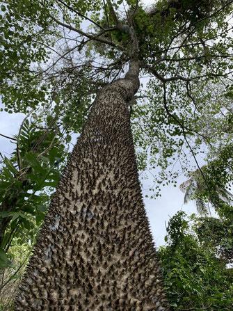Costa Rica, Cahuita, Sandboxtree, Sandbüchsenbaum