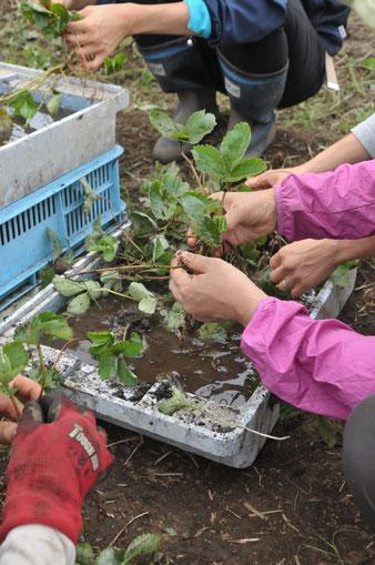 イチゴ 無農薬 自給 自然栽培 野菜作り学校 農業体験 体験農場