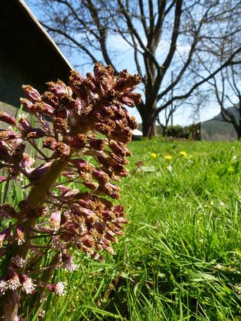 Blüte der Pestwurz