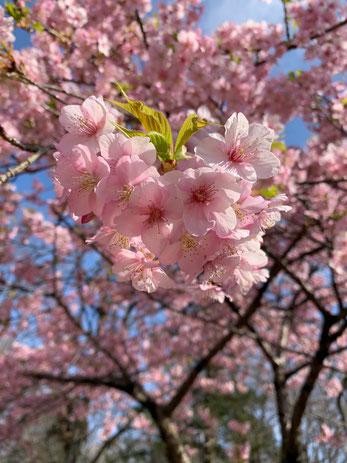 緋寒桜 意識が現実を創る