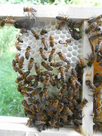 Wabenhonig kaufen,Honigwabe bestellen,Wabenhonig kaufen.Deutscher Wabenhonig,Honigwabe kaufen,Wabenhonig aus Deutschland,Wabenhonig bestellen.