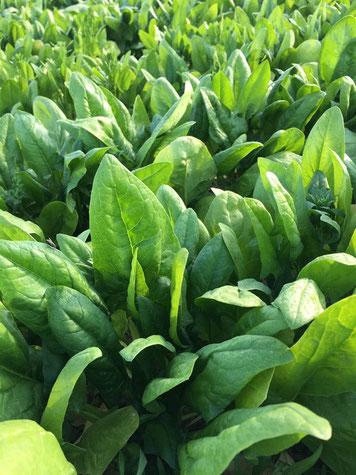 Spinat, kurz vor der Ernte; wer die Blüte entdeckt, darf sie essen :-)