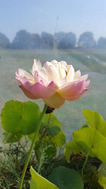 Nelumbo Wenshan Fudong