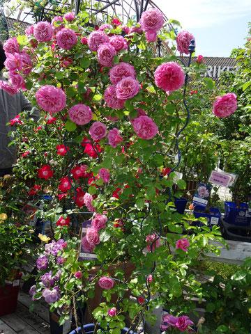 三春ハーブ花ガーデン バラ