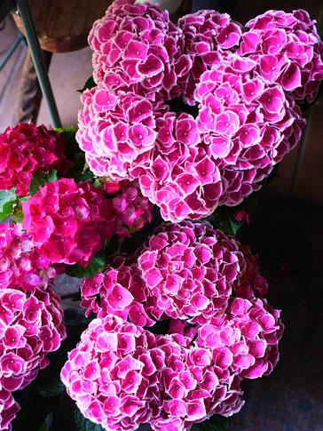紫陽花チボリピンク