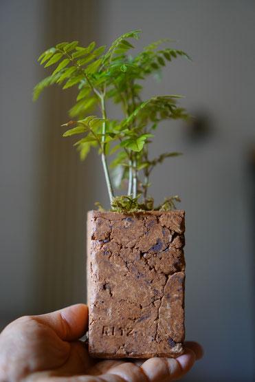 陶芸家 ブログ 焼き物 陶芸作品 茨城県笠間市 植木鉢 ポットカバー 鉢植え ジャカランタ 多肉植物