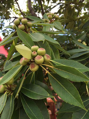 常緑樹のような葉っぱにイチジクのような実がついてる!