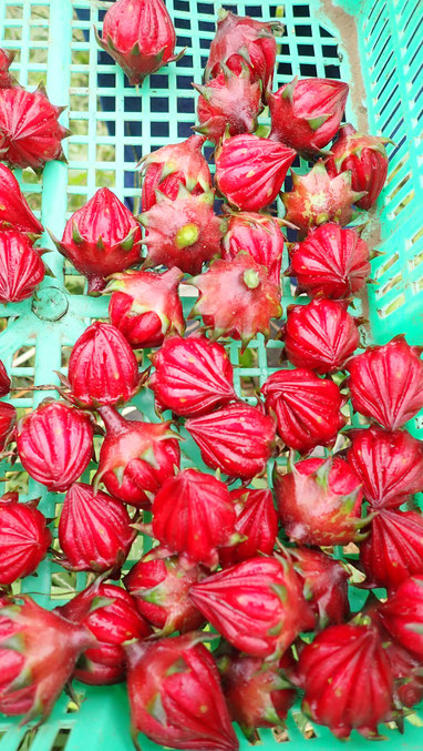 自然栽培のローゼルの収穫@さとやま農学校・すどう農園