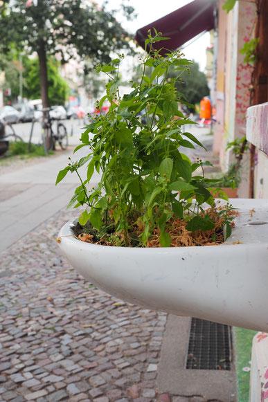 kleine Stadtwildnis Franzossenkraut, Waschbeckenkultur des Jahres 2019