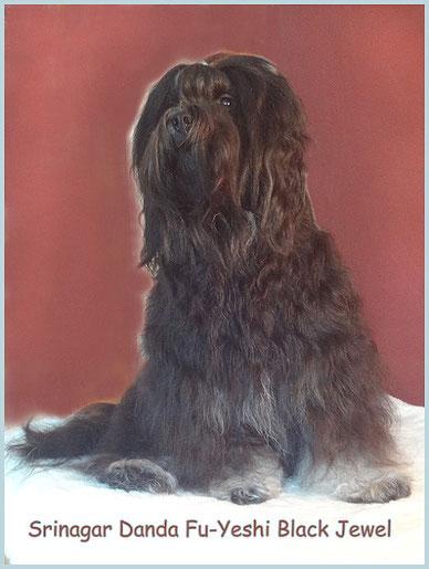 Tibet-Terrier-Deckrüde Yeshi im Alter von 2 1/2 Jahren