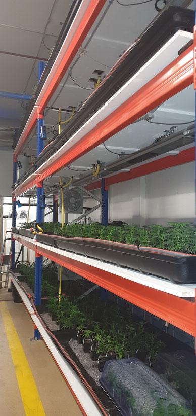 Culture en aquaponie de Cannabis CBD  intérieur